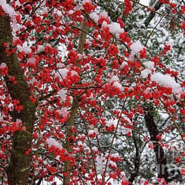 Frozen Possumhaw Berries by Bob Phillips