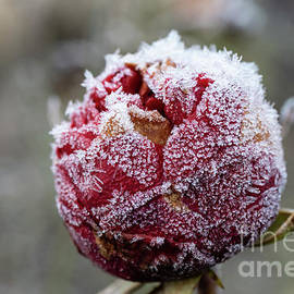 Frozen Rose2 by Eva Lechner