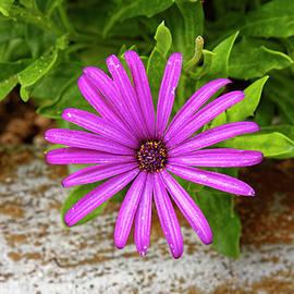 Fuchsia Daisy by Sally Weigand