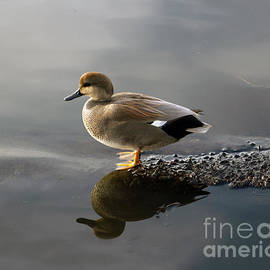 Gadwall Duck in the Morning by Sea Change Vibes