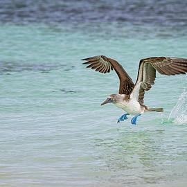 Galapagos Blue Footed Booby Takeoff III by Joan Carroll