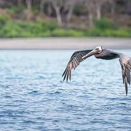 Galapagos Brown Pelican in Flight by Joan Carroll