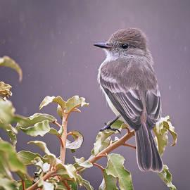 Galapagos Flycatcher by Joan Carroll