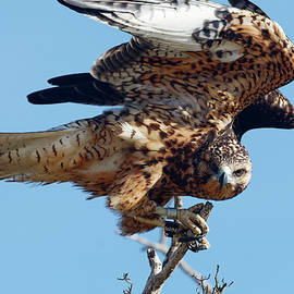 Galapagos Hawk Landing by Sally Weigand