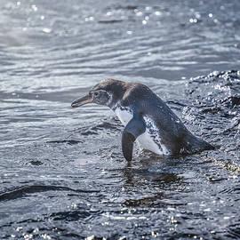 Galapagos Penguin 4 by Joan Carroll