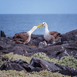 Galapagos Waved Albatross Courtship on the Rocks by Joan Carroll