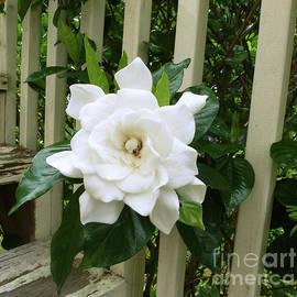 Gardenia by Marcella Muhammad