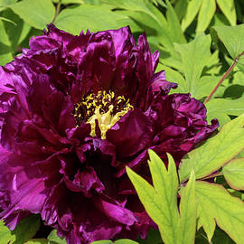 Garnet Colored Beauty with Chartreuse Leaves - One Very Showy Tree Peony Bloom by Georgia Mizuleva