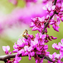 Gathering Pollen Amongst the Blooms - square crop by Scott Pellegrin