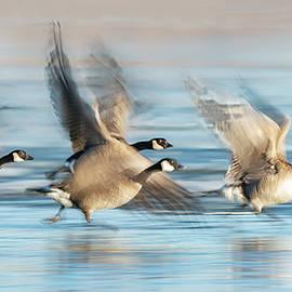 Geese Flying Off by Judi Dressler