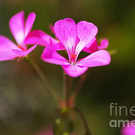 Geranium Applause Flower by Joy Watson