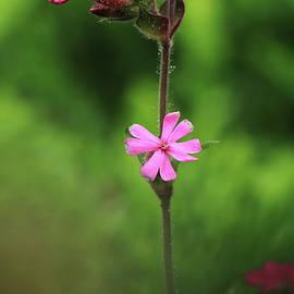 Geranium robertianum famous as red robin, death come quickly, storksbill, fox geranium, stinking Bob, squinter-pip. Roberts geranium between green vegetation. Concept of wild flowers by Vaclav Sonnek