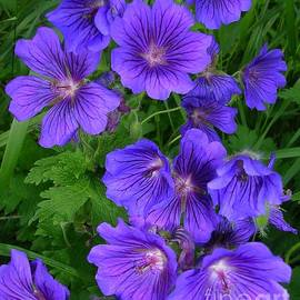 Geranium Rozanne by Lesley Evered
