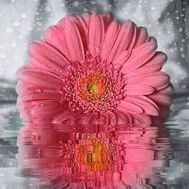 Gerbera Daisy Just Coral  by Carol Japp