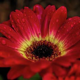 Gerbera Daisy Macro by Judy Vincent