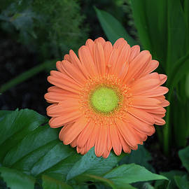 Gerbera Daisy - One Bold Orange Bloom on Dark Greens by Georgia Mizuleva