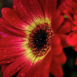 Gerbera Daisy With Raindrops by Judy Vincent
