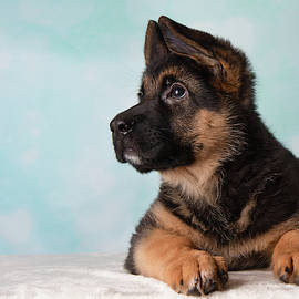 German Shepherd Puppy Blue Background Looking Up by Ashley Swanson