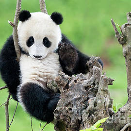 Giant Panda Cub by Tony Camacho