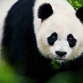 Giant Panda Up Close by Amy Jackson