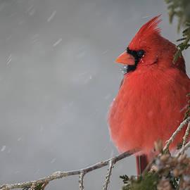 Gimme Shelter - Northern Cardinal - cardinalis cardinalis by Spencer Bush