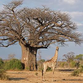 Giraffe and Baobab Tree by MaryJane Sesto