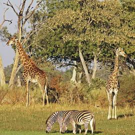 Giraffe and Zebra Reflection by MaryJane Sesto