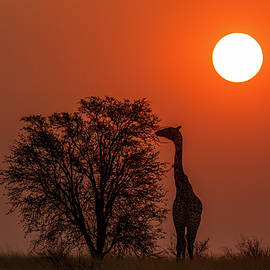 Giraffe at Sunset by MaryJane Sesto