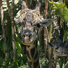 Giraffe Head on 14 ft by Vincent Holt