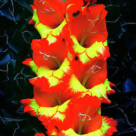 Gladiolus. by Alexander Vinogradov