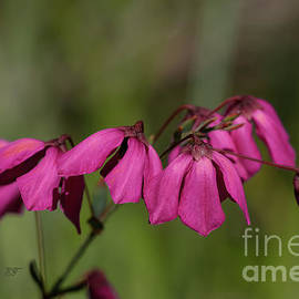 Glandular Pink-bells Tetratheca labillardierei 2 by Elaine Teague