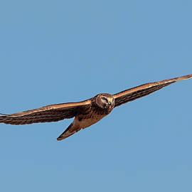 Gliding Harrier by Loree Johnson