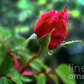 Glistening Rose by Susan Warren