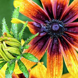 Gloriosa Daisy Black-Eyed Susan by Lindley Johnson