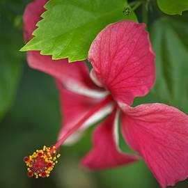 Glorious Pink Hibiscus by Heidi Fickinger