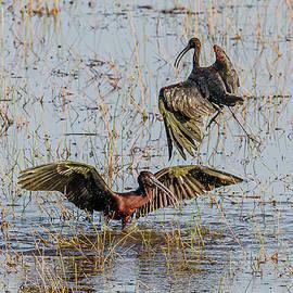 Glossy Ibis Pair by Morris Finkelstein