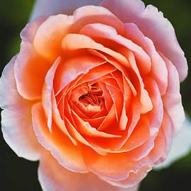 Glowing Orange and Pink Rose by Joy Watson
