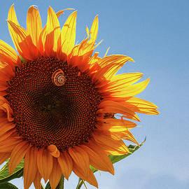 Glowing Sunflower in Spain by Tatiana Travelways