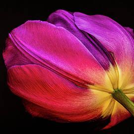 Glowing Tulip by Stephen Jenkins