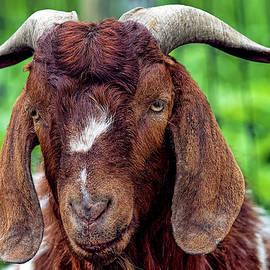Goat 1358 by Matthew Lerman