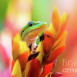 Gold Dust Day Gecko behind a Tropical Bromeliad in Honolulu Hawaii by Phillip Espinasse