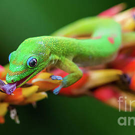 Gold Dust Day Gecko Licking a Tropical Bromeliad Flower by Phillip Espinasse