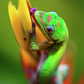 Gold Dust Day Gecko Licking the Tropical Bromeliad Flower by Phillip Espinasse