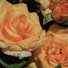 Gold Medal Roses by Donna Kennedy