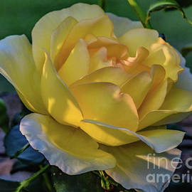 Gold Struck Rose In Light and Shadows by Cindy Treger