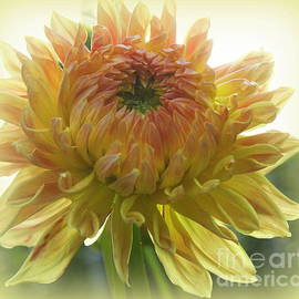 Golden and Pink Dahlia in Late Summer by Dora Sofia Caputo