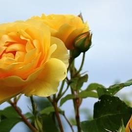 Golden Celebration Roses by Loretta S