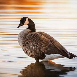 Golden Dawn Canada Goose  by Saija Lehtonen