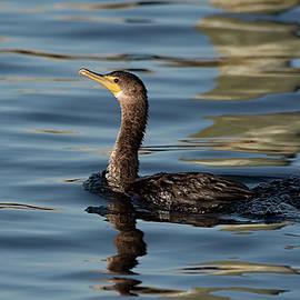 Golden Hour Cormorant by Fon Denton