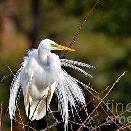 Golden Hour Great Egret by Julie Adair